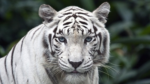 female-while-tiger-1-3177