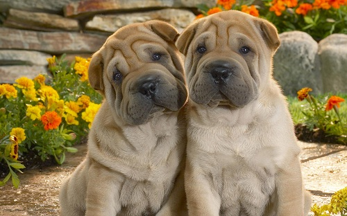 Two sharpei pups leaning against each other. Valentine heart in background.