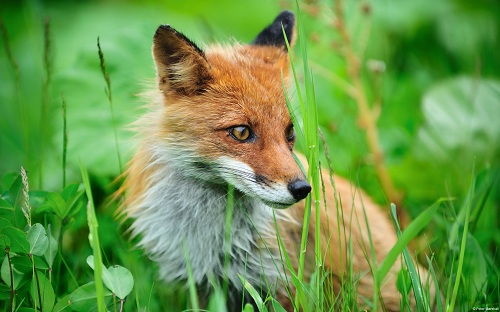 Fox from northern Japan, Shiretoko National Park (a Unesco World