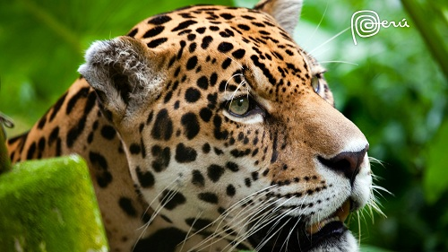 jaguar-the-big-cat-3175