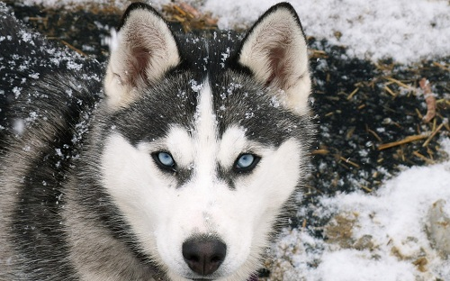 siberian-husky-wallpaper-dogs-1280